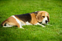 A beagle dog lying on a green grass Royalty Free Stock Images