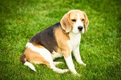 A beagle dog lying on a green grass stock images