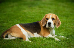 A beagle dog lying on a green grass Royalty Free Stock Photo
