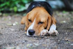 Beagle dog lying on the ground. An adorable beagle dog lying on the ground outdoor in fall Stock Photo