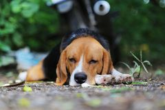 Beagle dog lying on the ground. An adorable beagle dog lying on the ground outdoor in fall Royalty Free Stock Photo