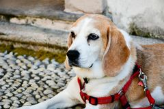 Beagle dog. Lying on the ground in Isola bella, italy royalty free stock photo