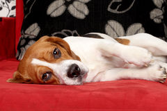 Beagle dog lying on red sofa Royalty Free Stock Photography