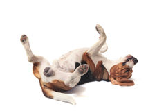 Beagle dog lying on white Stock Photography