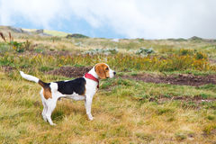 Beagle dog in nature. Side view of a beagle dog out in nature - a small hound of a breed used for hunting Stock Photo