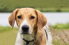 Beagle dog on nature background Royalty Free Stock Photos