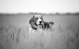 Beagle dog in nature Stock Photography