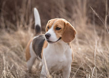 Beagle dog in nature Stock Image