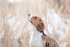 Beagle dog in nature Stock Images