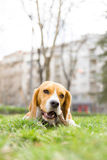 Beagle dog nibbles stick in park on green grass Royalty Free Stock Photography