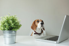 Beagle dog at office table with laptop Royalty Free Stock Photos