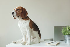 Beagle dog at office table with laptop Royalty Free Stock Images