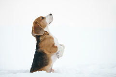 Beagle dog outdoor funny portrait in winter Royalty Free Stock Photo