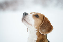 Beagle dog outdoor funny portrait in winter Royalty Free Stock Image