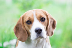 Beagle dog outdoor portrait Royalty Free Stock Photo