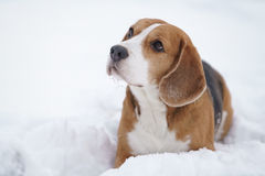 Beagle dog outdoor portrait walking in snow Stock Images