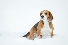 Beagle dog outdoor portrait walking in snow Royalty Free Stock Image