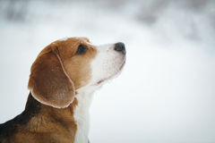 Beagle dog outdoor portrait walking in snow Royalty Free Stock Images
