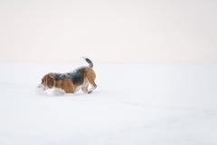 Beagle dog outdoor running in snow Stock Photos