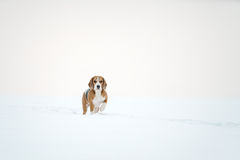Beagle dog outdoor running in snow Stock Image