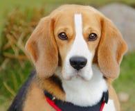Beagle dog. Outdoors hunting portrait of a Beagle dog Stock Image