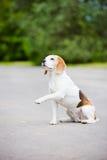 Beagle dog outdoors Stock Images