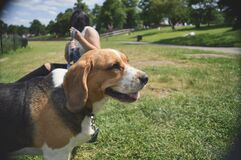Beagle dog in park