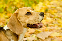 Beagle dog stock image
