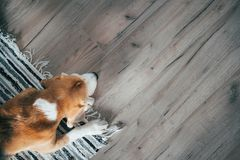 Beagle dog peacefully sleeping on striped mat on laminate floor. Pets in cozy home top view image