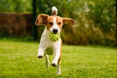 Beagle dog pet run and fun outdoor. Dog i garden in summer sunny day with ball having fun.  stock images