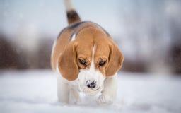 Beagle dog playing with ball Stock Image