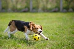 Beagle dog playing football Stock Images