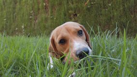Beagle Dog Playing in the Grass. Beagle Dog Outside Playing in the Lawn stock video