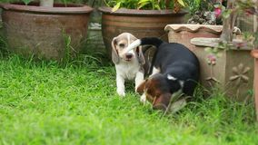 Beagle dog playing on lawn. Two beagle  puppy playing on lawn stock video footage