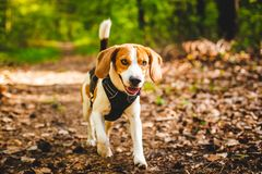 Beagle dog playing outdoors. Happy dog running in a forest. Beagle dog playing outdoors stock photo