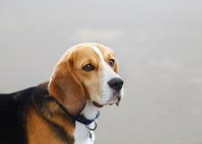 Beagle dog portrait. Beagle dog head portrait with copy space Royalty Free Stock Photo