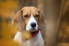 Beagle dog portrait in the autumn forest. Beagle Beagle dog portrait in the autumn forest Royalty Free Stock Images