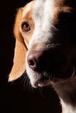 Beagle dog portrait Stock Photo