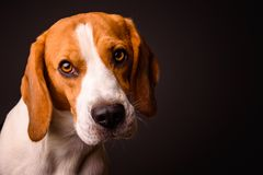 Beagle dog portrait on a black background isolated studio closeup detail. Like painting royalty free stock photography