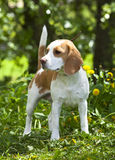 Beagle dog portrait Stock Images