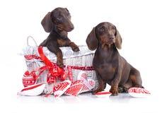 Beagle dog portrait Royalty Free Stock Image