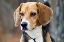 Beagle Dog Portrait. Beagle Dog, outdoor pet adoption photography, humane society, Walton County Animal Control royalty free stock image