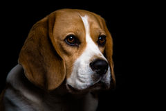 A beagle dog. A portrait of tan and white beagle hound dog with a black isolated background royalty free stock image