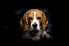 A beagle dog. A portrait of tan and white beagle hound dog with a black isolated background stock photos