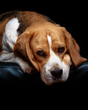 A beagle dog. A portrait of tan and white beagle hound dog resting on a black leather sofa Stock Photos