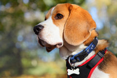 Beagle dog portrait. Wearing a blank bone shaped name tag on collar Royalty Free Stock Photos