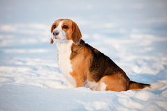 Beagle dog portrait in winter Royalty Free Stock Image