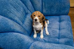 Portrait of noble beagle pet at home interior. Beagle dog posing in soft blue chair indoors Stock Photos