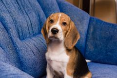 Portrait of noble beagle pet at home interior. Beagle dog posing in soft blue chair indoors Royalty Free Stock Photos