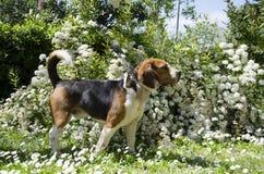 Beagle dog profile Stock Images